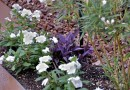 White Vinca annuals with a Purple Heart.jpg